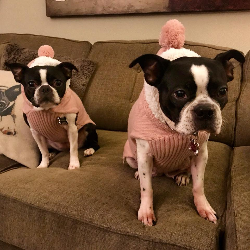 Roxie & Bella, the Boston Terriers of Mercer Island, WA that are also referred to as the @lilbossybitches