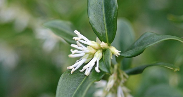 Take time to stop and smell the sarcococca ruscifolia. Tips on practicing patience in the new year.