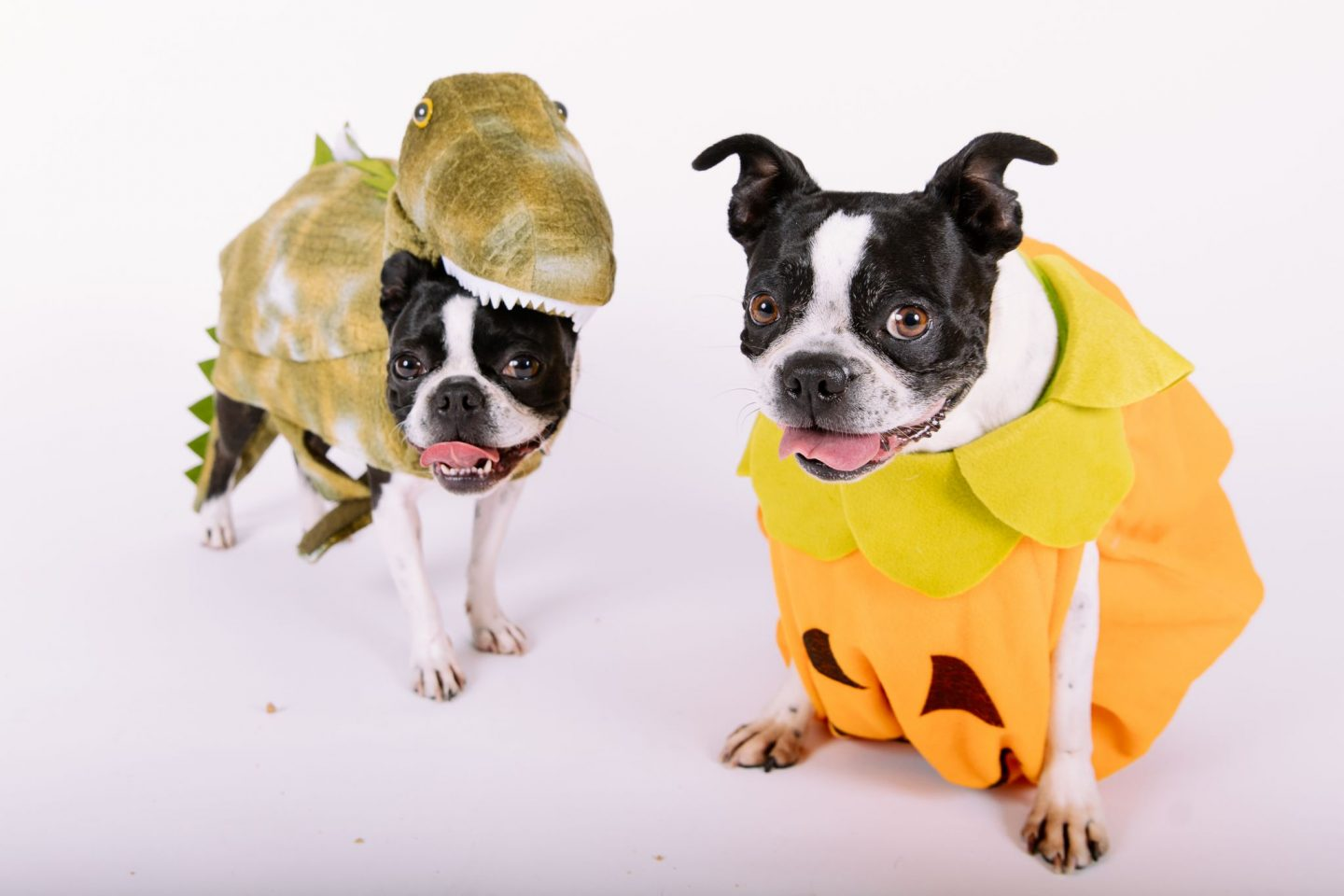 Roxie and Bella, Boston Terrier sisters from different misters,  model for the Seattle Goodwill annual pet Halloween photoshoot and look adorable doing it